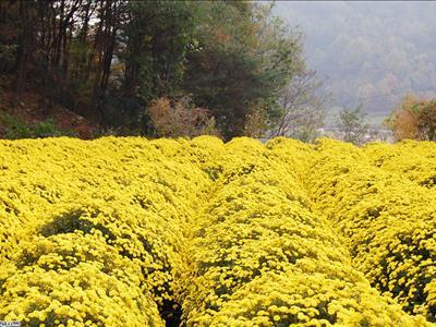 국화꽃밭(서후면국화大향연)